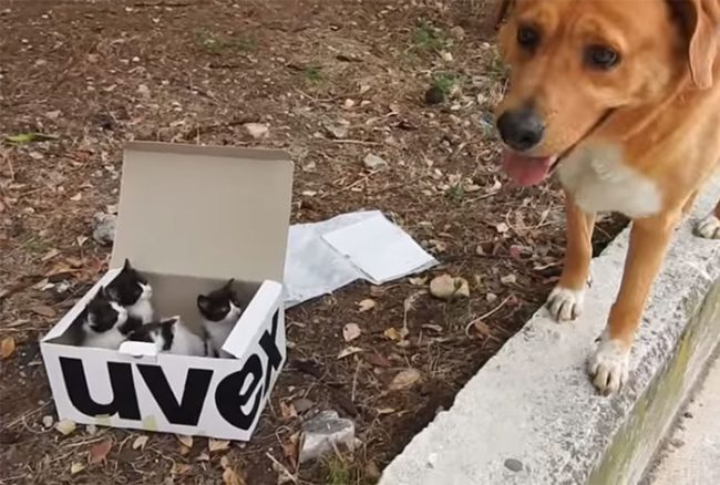 dog-rescues-box-kittens-aragon-greece-2-596ca21c97f68__700
